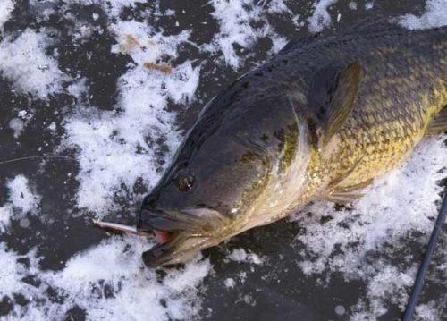 ротан рыба фото речной