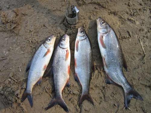 Ловля рыбца на фидер