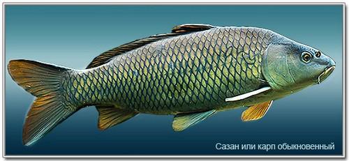 ryba_sazan