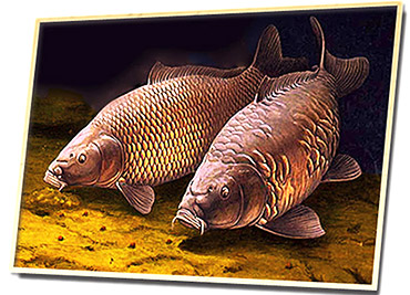 Рыба сазан ареал, нерест и повадки