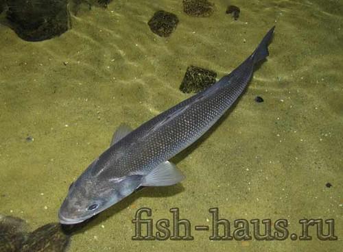 Среда обитания рыбы сибас