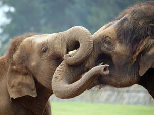 Слоны любят обниматься хоботами