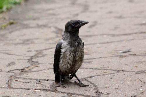 Глупый воронёнок с голубыми глазами вышел из мокрой после дождя травы на тротуар