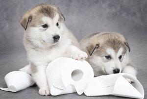 Приучаем щенков ходить в туалет на улице
