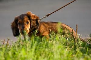 Приучение взрослой собаки к туалету на улице