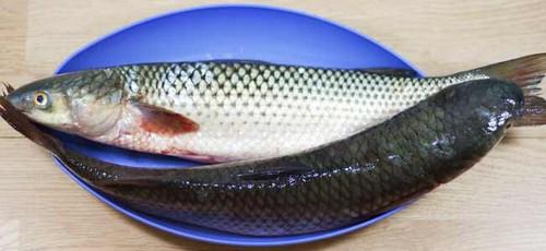 Рыба кефаль фото и описание