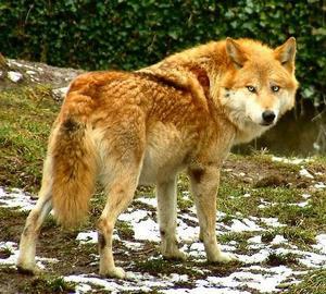 Хищный волк