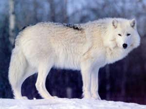 Расцветки волков