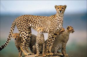 Гепардов в мире становится все меньше