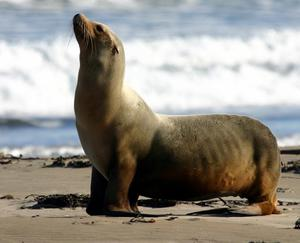 Хищные ушастые тюлени