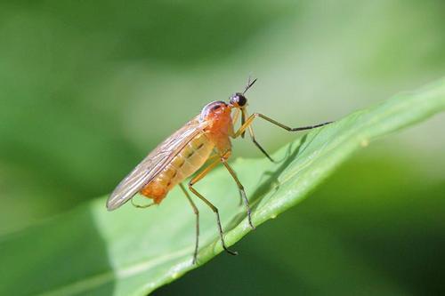 Желтоспинный толкунчик (Empis stercorea) - хищный «комарик» жёлтого цвета с длинным носом, Y-образными усиками и чёрными полосками на спинке