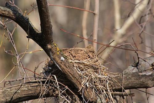 Гнездо дрозда-белобровика (Turdus iliacus) на старом пне из травинок, скрепленное сверху глиной