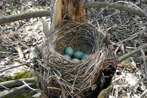 гнездо дрозда-белобровика (Turdus iliacus) на старом пне с голубовато-зелёными яйцами в крапинку