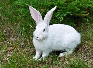 Заяц беляк - особенности породы