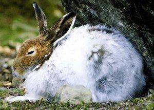 Когда начинается линька у зайцев