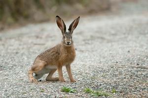 Заяц как живет в природе