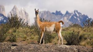 Места обитания ламы