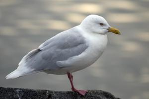 Полярная чайка