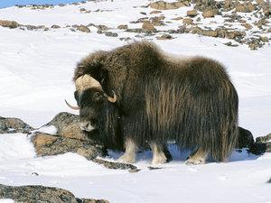 Арктический овцебык