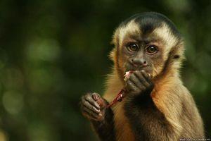 Вид обезьян капуцины - отличительные признаки