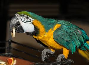 Попугай ара - громкий, сильный, яркий