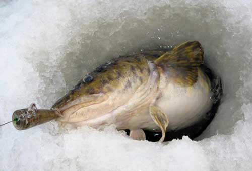 Зимняя ловля налима на стукалку