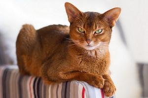 Абиссинская кошка – профилактика заболеваний