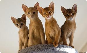 Подросшие абиссинские котята