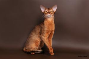 Статная абиссинская кошка фото