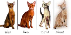 Абиссинские кошки: особенности данной породы
