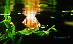 Улитка акварюмная Ампулярия