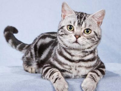 Американская короткошёрстная кошка: характеристика породы