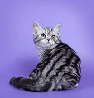 Характер американской кошки