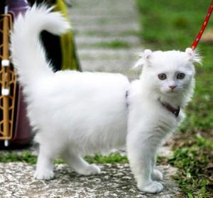 Красивая порода кошки Американский кёрл