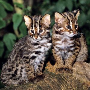 Симпатичные котята кошки Цусимы