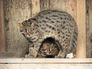 Кошка Цусимы и котенок