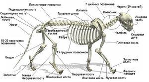 Анатомические особенности кошки
