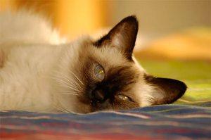 Кот балинез дома