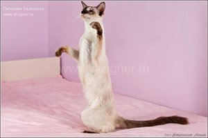 Характер котов Балинезов