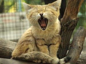 Где обитает бархатная кошка