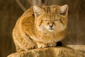 Редкая бархатная кошка