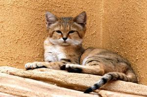 Редкая порода бархатной кошки