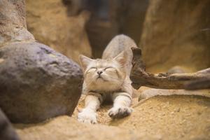 Как живет в природе бархатная кошка