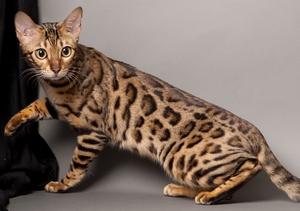 Смышленная бенгальская кошка
