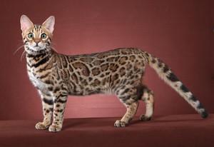 Бенгальская кошка - экстерьер