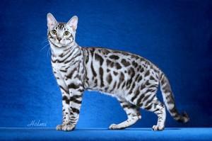 бенгальская кошка сероватого окраса