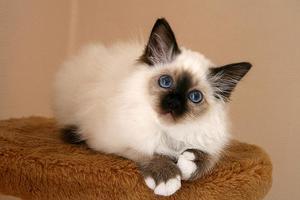 Бирманская порода кошки