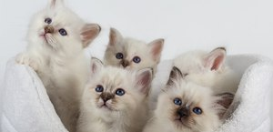 Священная бирма -род кота