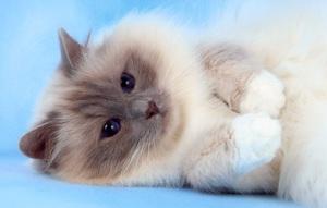 Священная Бирманская - порода Кошек
