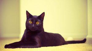 Как выглядит бомбейская кошка